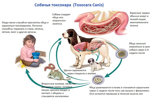 Собачья токсикара