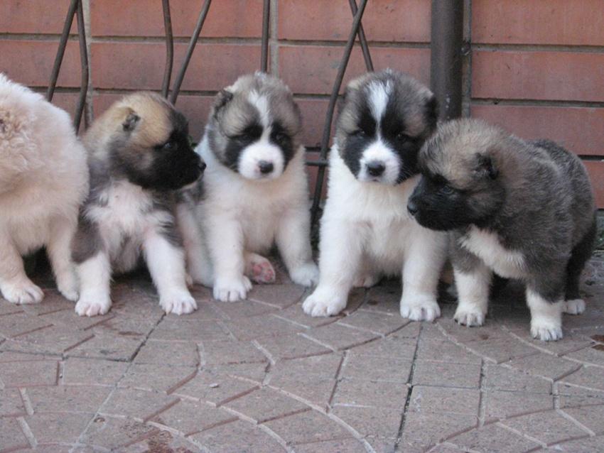 К токсокарозу восприимчивы щенки