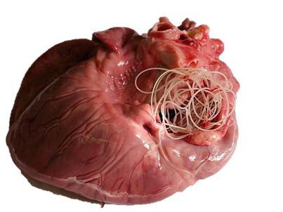 Половозрелые паразиты в сердце