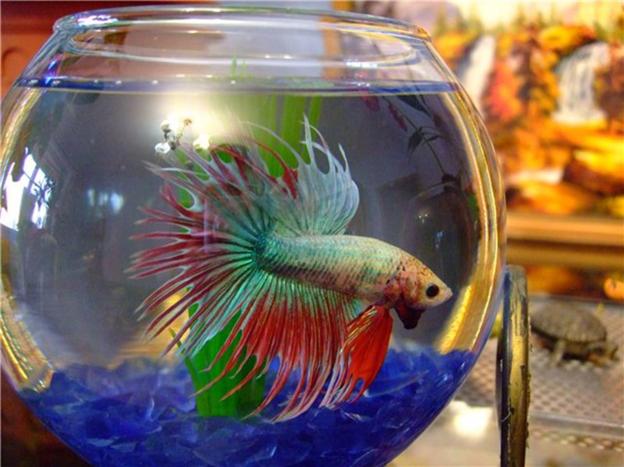 Рыбка-петушок