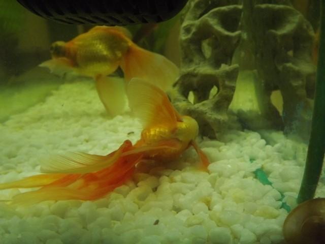 Золотые рыбки на дне аквариума