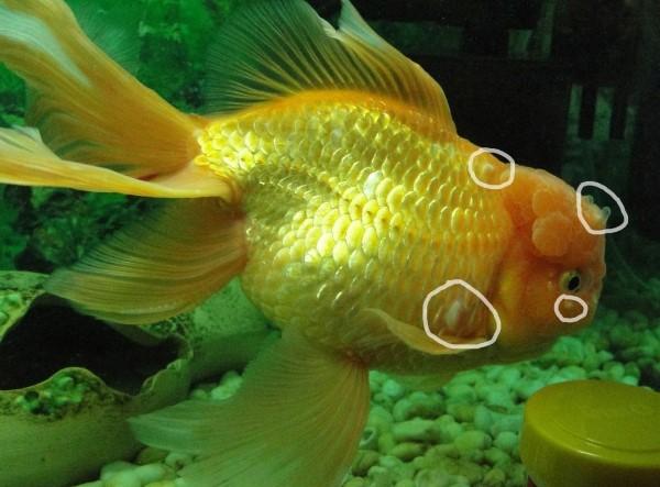 Водянка у рыбки