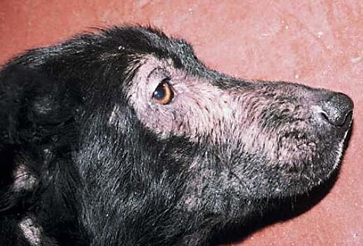 Симптомы аллергии у собаки на морде
