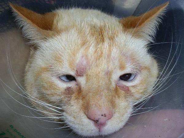 Симптомы аллергии у кошки на мордочке