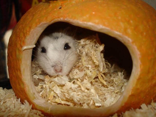 Перед родами самочки хомячков обустраивают родильное «гнездо» или перестраивают свой домик.
