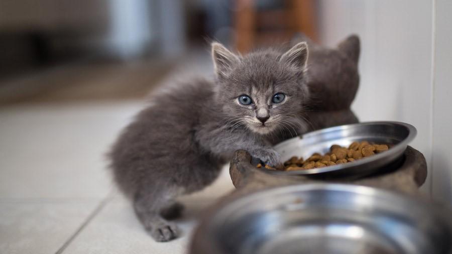 Котята с пяти недель охотно поедают сухие корма
