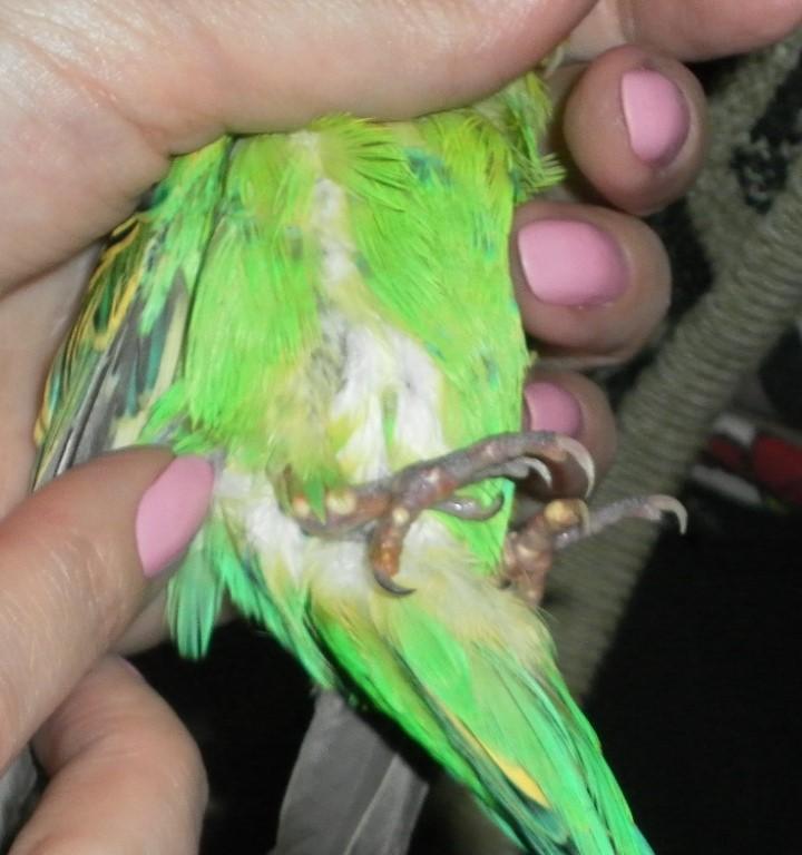 Облысение попугая