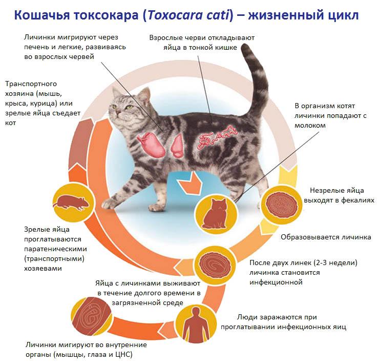 Кошачья токсокара