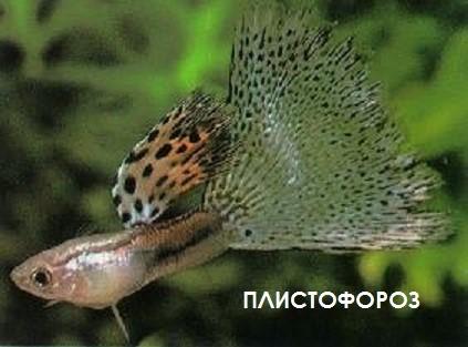 Плистофороз