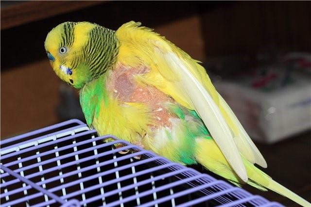 Попугай лишился перьев