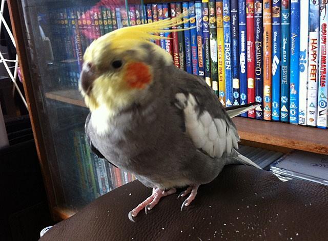 Больной попугай вялый, малоактивный
