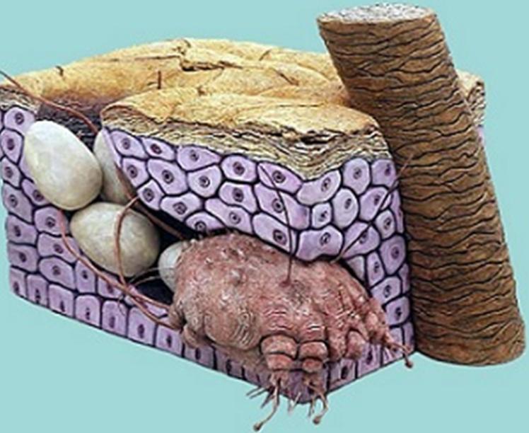 Самка клеща с яйцекладкой
