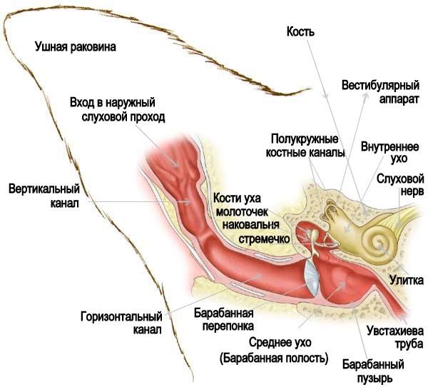 Строение кошачьего уха