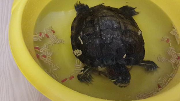 Черепаху кормят в отсаднике