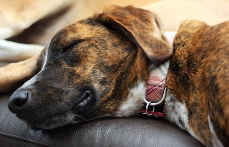 Самочувствие пса при гепатите ухудшается
