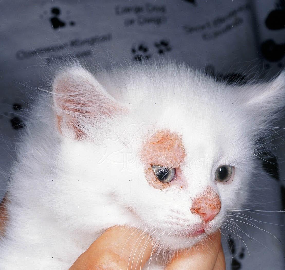 Микроспория у котенка