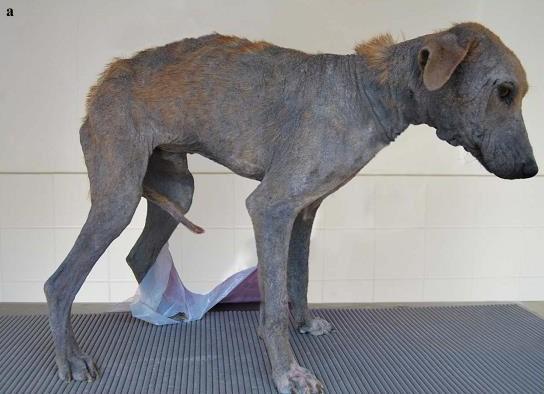 Собака пораженная демодекозом
