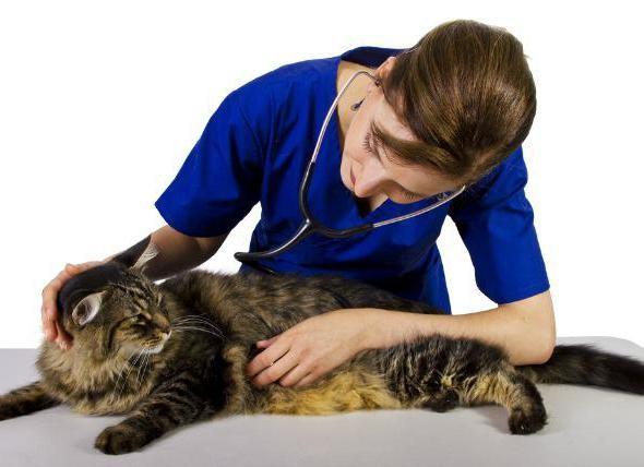 Обработку от эктопаразитов беременным кошкам проводят под контролем ветврача