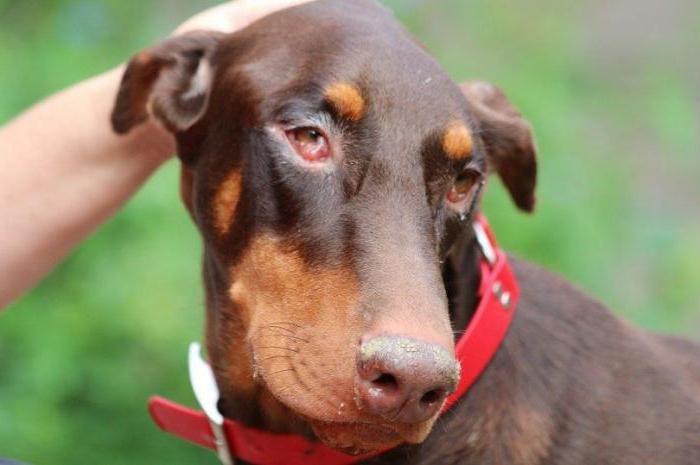 Конъюнктивит у собаки, начальная стадия