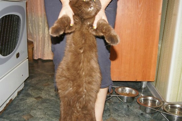 Асцит у кота. Если поднять котика за передние лапки, живот приобретает форму груши