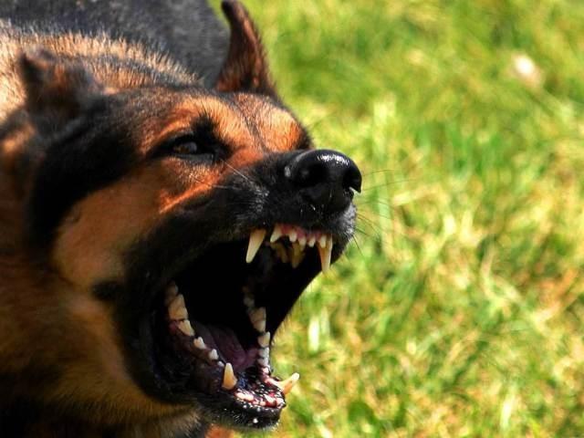Собака, зараженная вирусом бешенства