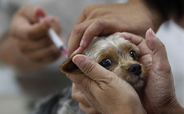 Прививать от бешенства нужно собак любых пород