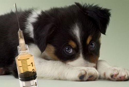 Прививать можно только клинически здоровых собак