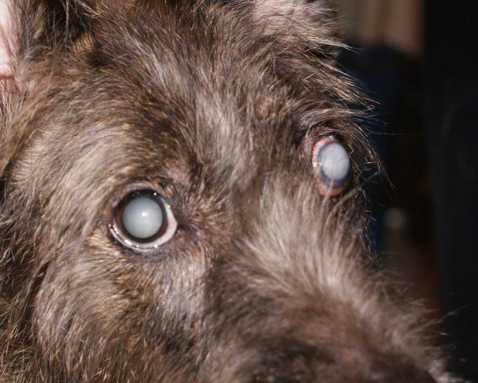 При диабете собака может ослепнуть