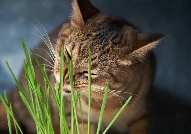 Кошке достаточно съесть траву, на которой есть яйца опасных эндопаразитов