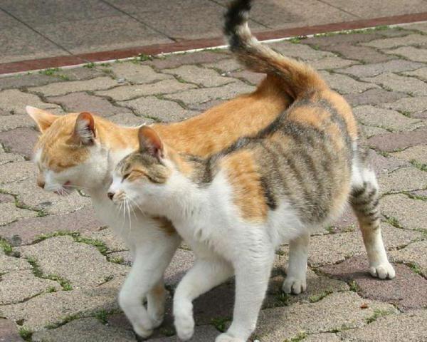 В период полового влечения поведение кошки может быть неконтролируемым