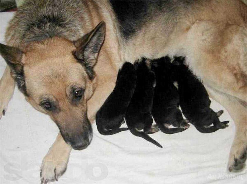 Правильная подготовка родильной зоны для собаки и будущих малышей