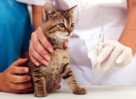 Вакцинируют только клинически здоровых животных