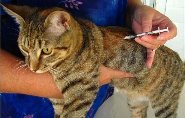 Вакцинацию проводят только клинически здоровым животным