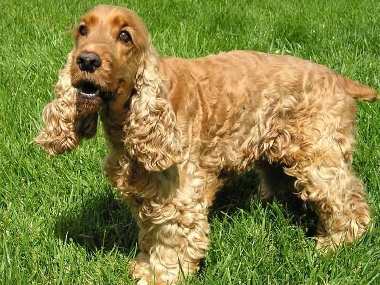 К отиту предраположены длинноухие собаки