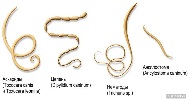 Виды гельминтов, которые обитают в организме кошек