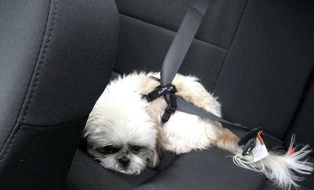 Если собаку укачивает при езде на машине, в профилактических целях за 1-2 до поездки необходимо дать питомцу противорвотный препарат