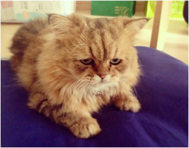 Причины эпилепсии у кошек