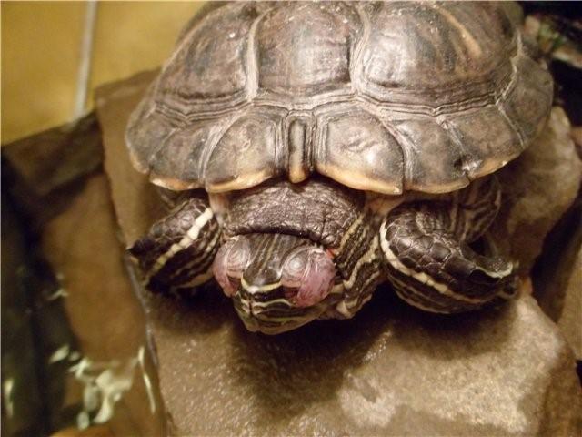 Красная черепаха с опухшими глазами