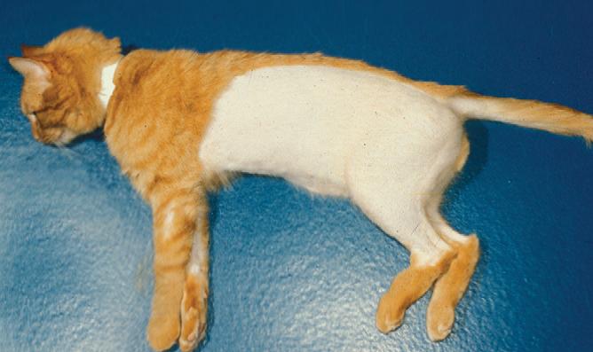 Лысеющий кот