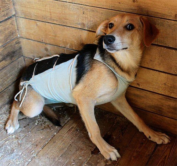 Собака после такой операции