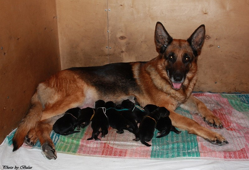 Собака после родов