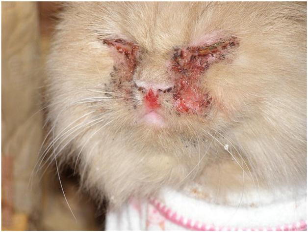Кот, больной кальцивирозом
