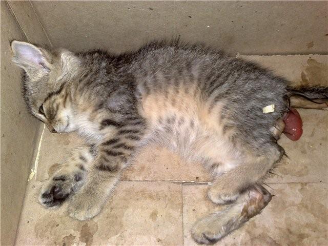 У котенка выпала прямая кишка