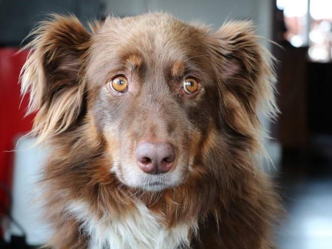 Собака, пораженная токсоплазмозом