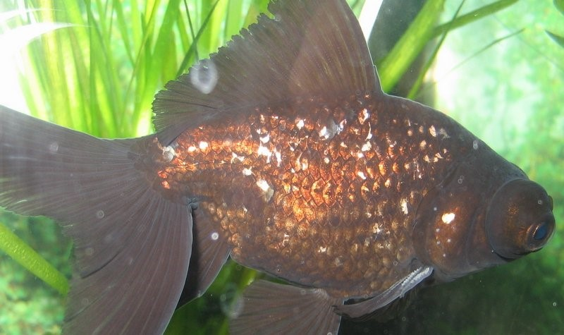 Симптомы манки у рыб
