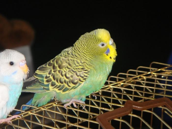волнистый попугай стресс симптомы