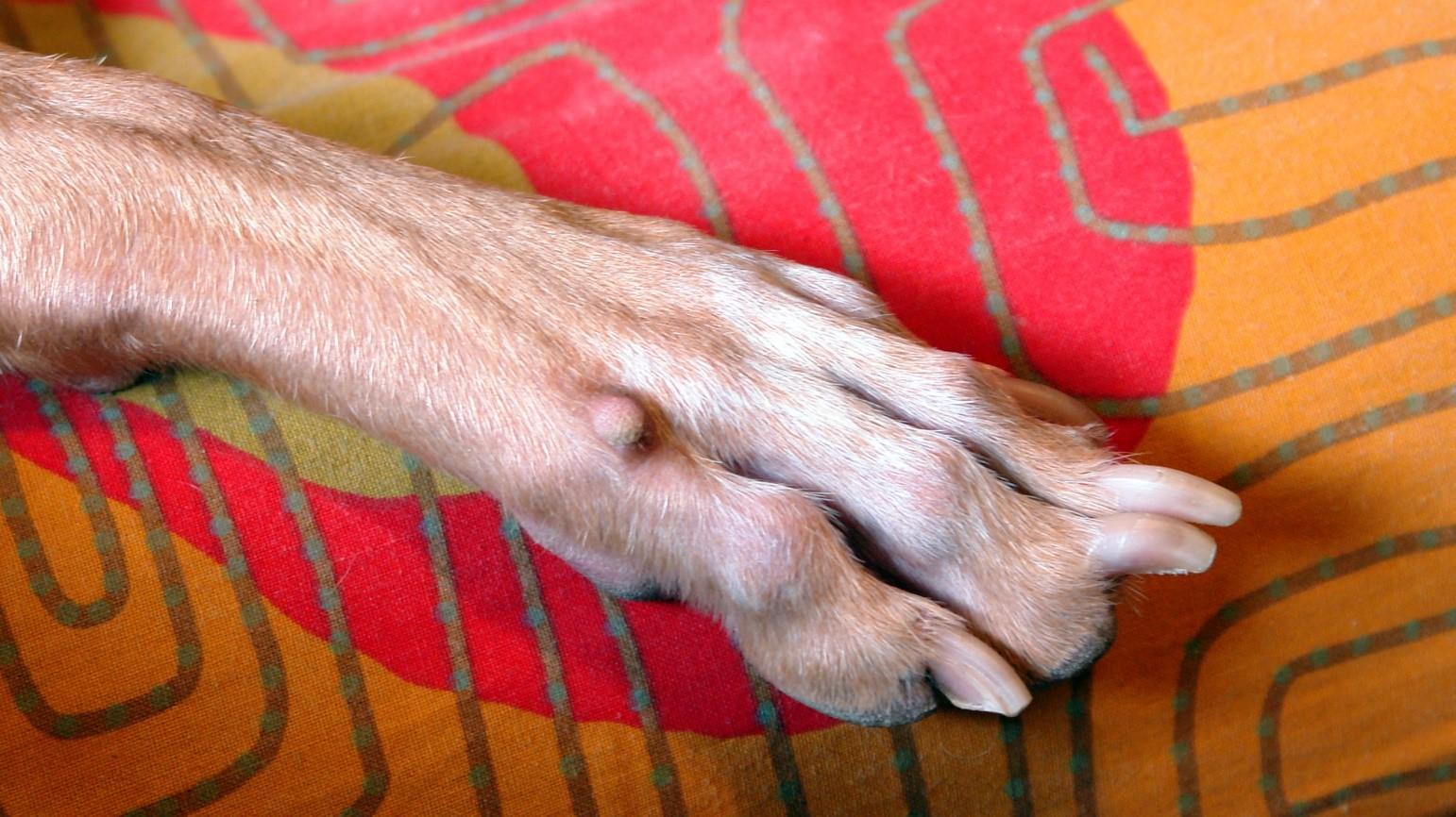 Папиллома у собаки на лапе