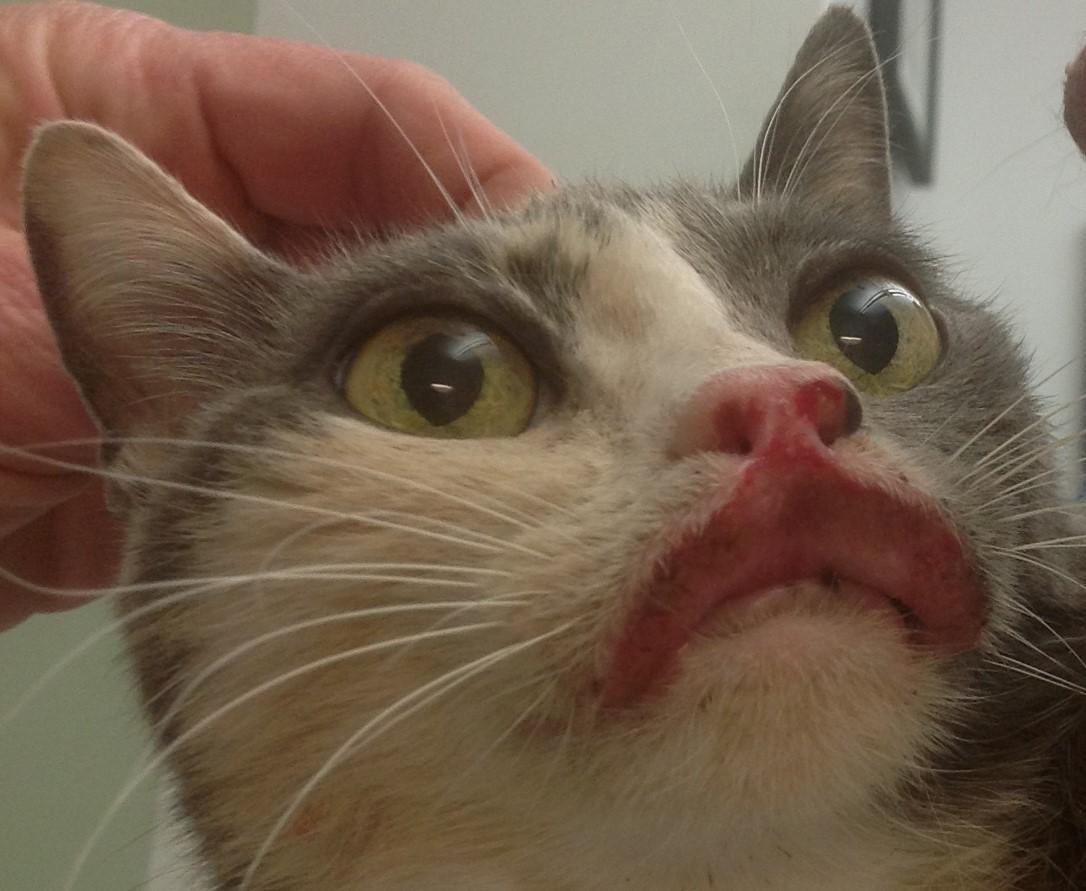 Гранулема у кошки