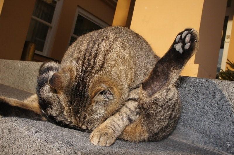 Кошка вылизывает анус