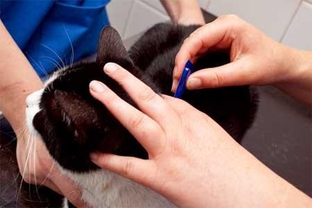 Ветеринар проверяет кошку на наличие блох